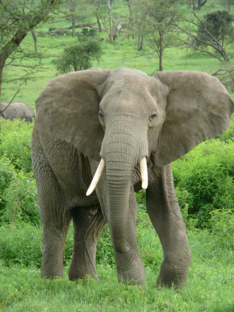 Elephant_near_ndutu