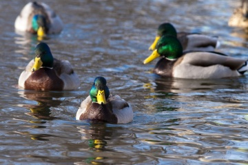 10906ducks_in_a_row