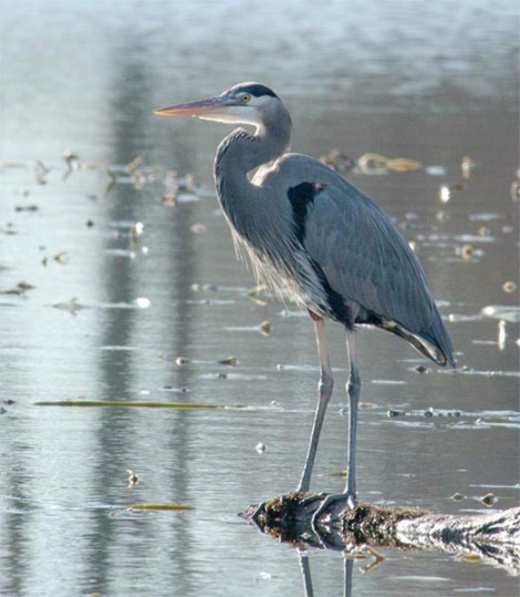 great-blue-heron-797050