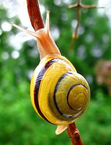 461px-Snail-WA_edit02