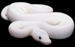 http://www.constrictors.com/Collection/BallPythons/BlackEyedLeucisticBallPython.html